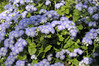 Ageratum Patina Purple 10 close