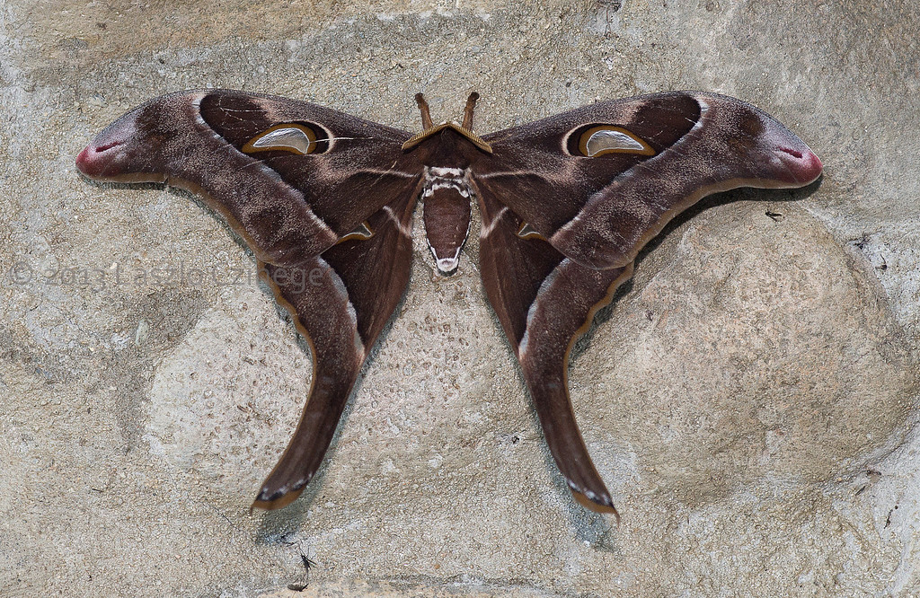 Hercules Moth  Coscinocera