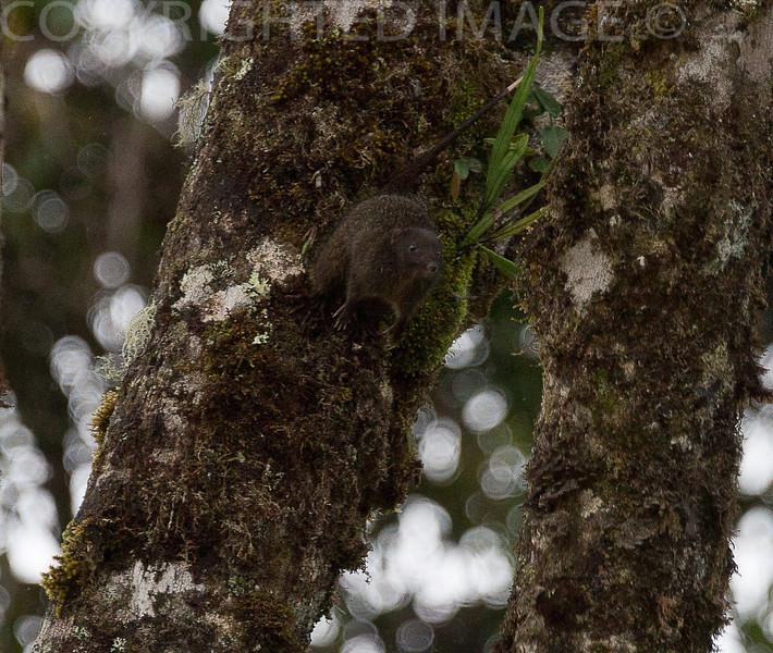 SPECKLED DASYURE (Neophascogale lorentzii)