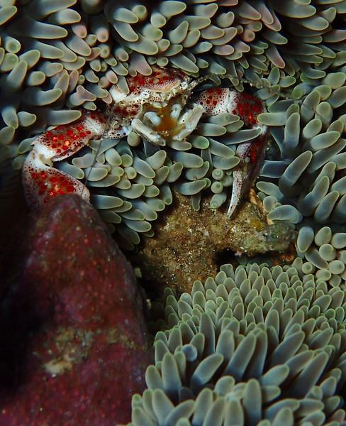 Porcellan Crab 1