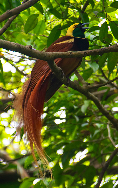 Reggiana Bird of Paradise