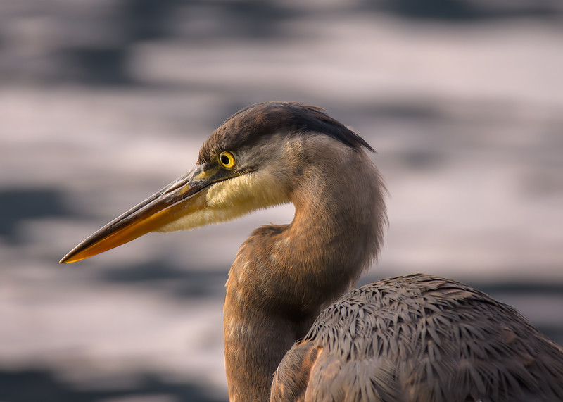 Pacific Great Blue Heron