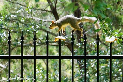 Squirrel doing the finial dance