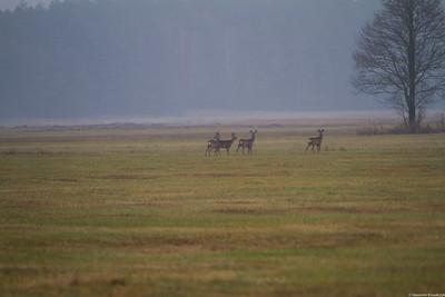 Biebrza National Park - deers.