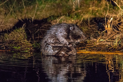 Biebrza National Park - beaver.