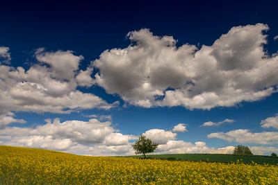 Rapeseed fields near Plock.