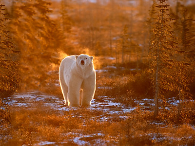 POLAR BEAR IN MORNING SUN AND FOG.  This curious polar bear showed up one morning near Dymond Lake Lodge where I was staying at not far from Churchill, Manitoba, Canada. The combination of early sun and frost in the air took my breath away.