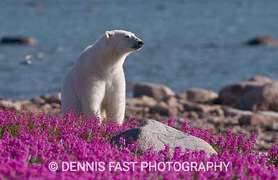 POLAR BEAR IN FIREWEED  Polar Bear (Ursa maritimus) in fireweed (Epilobium angustifolium) on an island off the sub-arctic coast of Hudson Bay, Churchill, Manitoba, Canada. This bear was glistening white in the sun because he had just swum in from some distant ice floe. Bears come to spend the summer loafing on the island and looking for a careless seal or dead whale to wash up.