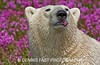POLAR BEAR IN FIREWEED<br /> <br /> Polar Bear (Ursa maritimus) in fireweed (Epilobium angustifolium) on an island off the sub-arctic coast of Hudson Bay, Churchill, Manitoba, Canada. Bears come to spend the summer loafing on the island and looking for a careless seal or dead whale to wash up. Sometimes they can be seen munching on blossoms one at a time!