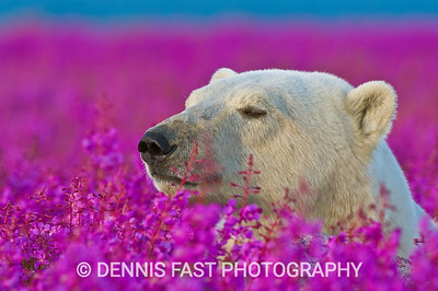 Polar Bear (Ursa maritimus) in fireweed (Epilobium angustifolium) on an island off the sub-arctic coast of Hudson Bay, Churchill, Manitoba, Canada. Bears come to spend the summer loafing on the island and looking for a careless seal or dead whale to wash up. Global warming has shortened their winter so they are increasingly looking for food in the summer.