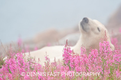 "POLAR BEAR LOAFING IN FIREWEED & FOG  Polar Bear (Ursa maritimus) in fireweed (Epilobium angustifolium) on an island off the sub-arctic coast of Hudson Bay, Churchill, Manitoba, Canada. Bears come to spend the summer loafing on ""fireweed"" island and looking for a careless seal or for a dead whale to wash up."