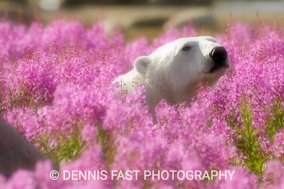 Polar Bear (Ursa maritimus) in fireweed (Epilobium angustifolium) on an island off the sub-arctic coast of Hudson Bay, Churchill, Manitoba, Canada. Bears come to spend the summer loafing on the island and looking for a careless seal or dead whale to wash up. Global warming has shortened their winter so they are increasingly looking for food in the summer. Digital filter applied to create romantic look.