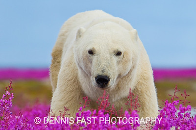 Polar Bear (Ursa maritimus) in fireweed (Epilobium angustifolium) on an island off the sub-arctic coast of Hudson Bay, Churchill, Manitoba, Canada. Bears come to spend the summer loafing on the island and looking for a careless seal or dead whale to wash up. This bear has his ears pinned back - an indication he is contemplating a charge.