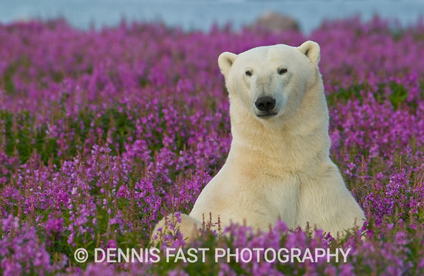 POLAR BEAR SMILE IN FIREWEED.  Of all the bears, polar bear are at once the most inviting and the most dangerous of them all. They are indeed playful, relaxed and charming - but don't turn your back!