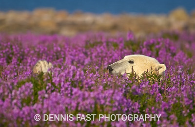 "POLAR BEAR RELAXING IN FIREWEED.  What could be more relaxed than a polar bear in a bed of ""roses"". The most amazing thing about it all was that he completely disappeared when he lay down amidst flowers that barely reached my thigh."