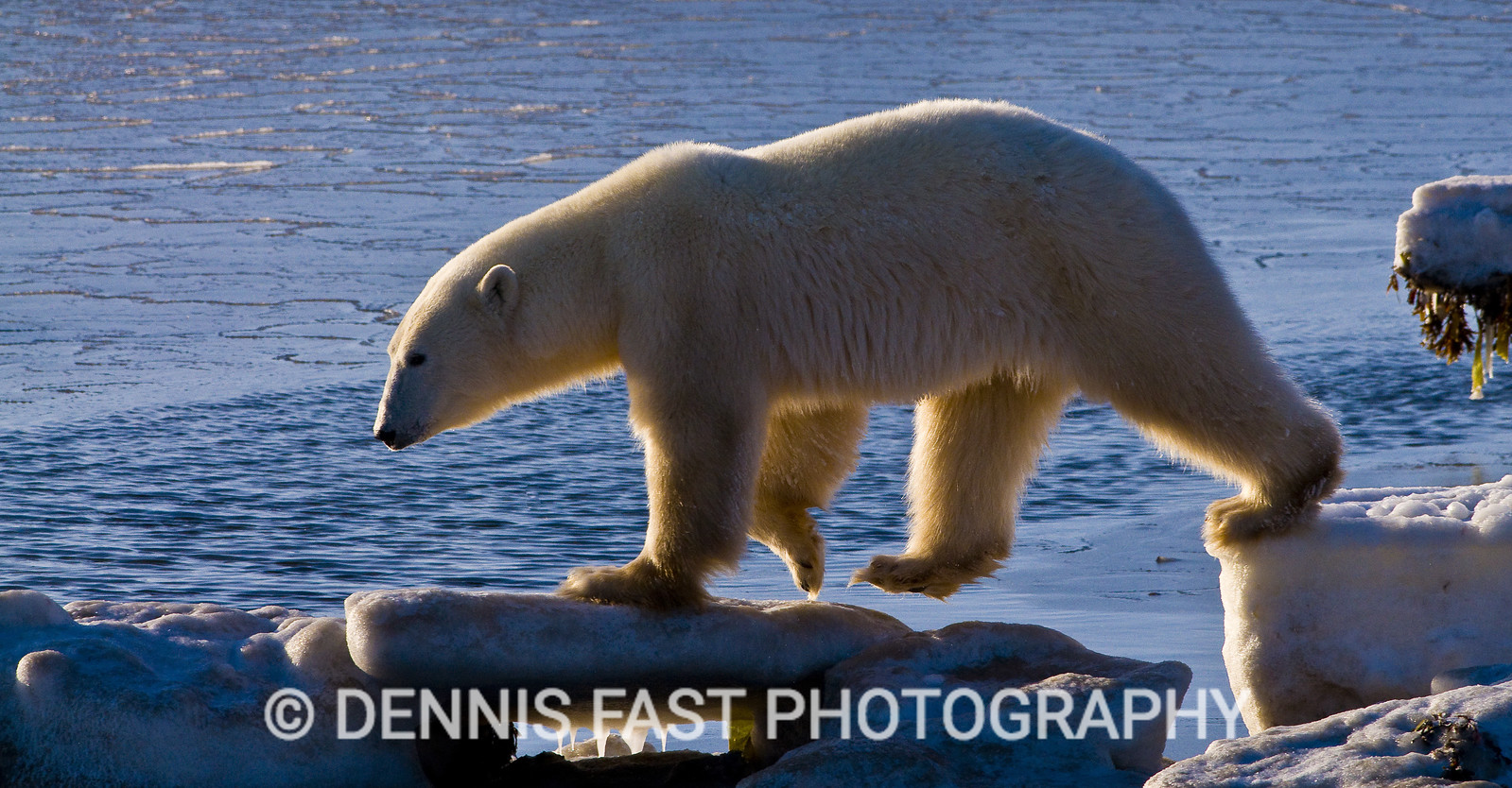 POLAR BEAR ON HUDSON BAY COAST  Polar Bear (Ursa maritimus) on sea ice off the sub-arctic coast of Hudson Bay, Churchill, Manitoba, Canada. Bears come to the coast of Hudson Bay in Fall waiting for the ice to freeze, and looking for a careless seal or for a dead whale to wash up. Global warming has shortened their winter so they are increasingly anxious as they wait for winter. While they wait, they engage in frequent wrestling matches to determine a mating hierarchy for the breeding season in March and April. During this time they regularly check on the ice to see if it will carry them out to sea.