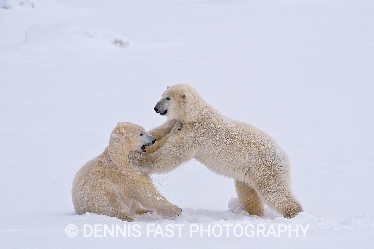 POLAR BEARS WRESTLING ON SEA ICE  Polar Bear (Ursa maritimus) on sea ice off the sub-arctic coast of Hudson Bay, Churchill, Manitoba, Canada. Bears come to the coast of Hudson Bay in Fall waiting for the ice to freeze, and looking for a careless seal or for a dead whale to wash up. Global warming has shortened their winter so they are increasingly anxious as they wait for winter. While they wait, they engage in frequent wrestling matches to determine a mating hierarchy for the breeding season in March and April. During this time they regularly check on the ice to see if it will carry them out to sea.