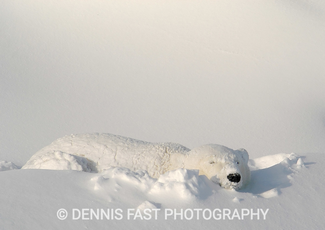 POLAR BEAR ASLEEP IN LUXURIOUS SNOW BED.  It was extremely cold on the morning when I got this photo after a blizzard. The micro-drive in my new digital camera was struggling to keep spinning in the -25C air; but I got the shot!