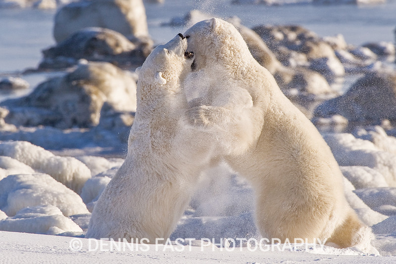 Polar Bears (Ursa maritimus) wrestling on sub-arctic Hudson Bay ice and snow, Churchill, MB, Canada