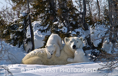 POLAR BEAR MOTHER & CUBS.  This mother and her cubs were resting in a secluded nook of small trees. Newly out from her birthing den, she now was faced with a long march to the sea ice to find food for herself and her young cubs. Sometimes going without food for as long as 8 months, mother bears have been known to lose 70% of their body weight in one natal season!