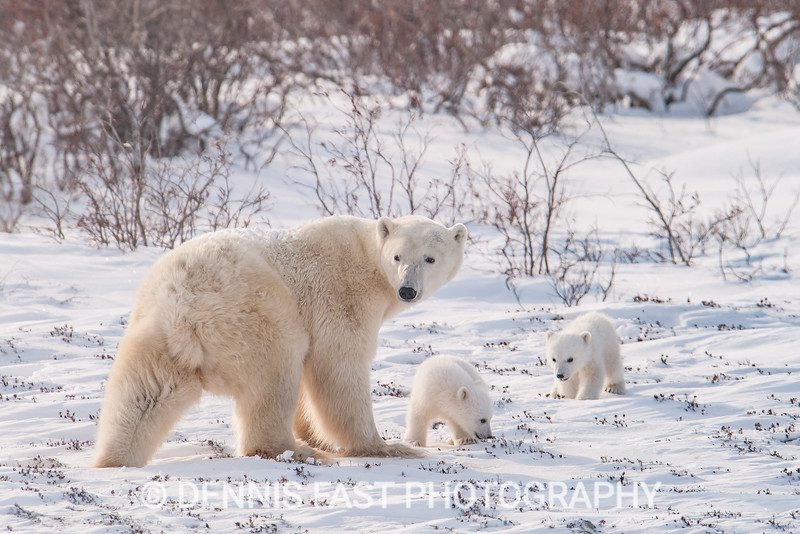 Polar bear mother and cubs (COY) exploring the tundra after first emerging from their den.