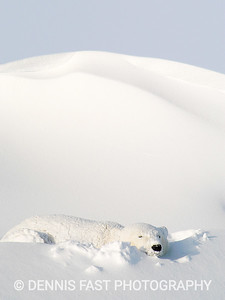 POLAR BEAR ASLEEP IN FRESH SNOW.  Polar bears can, and do, sleep anywhere. They do like their comfort, however, and I have seen them use a rock for a pillow, or push up snow for the same purpose. I guess you would call that the original pile pillow!