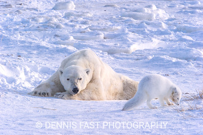Arctic Fox (Vulpes lagopus) and Polar Bear (Ursus maritimus) on Hudson Bay near Churchill, MB, Canada.