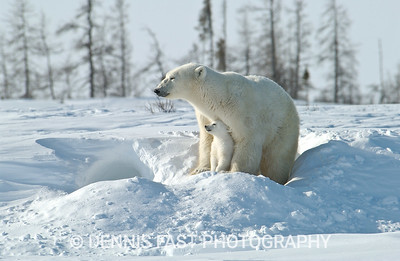 POLAR BEAR MOTHER & CUB OF THE YEAR.  After a long winter in a den where this young cub was born about 10 weeks prior to emerging, it feels good to see the sun. The look of adulation and complete confidence in the eye of the young bear makes this photo very powerful.