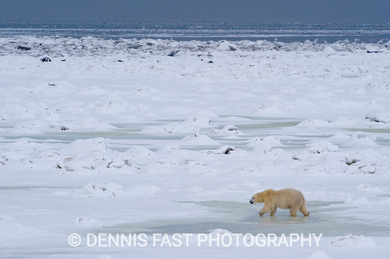 POLAR BEAR ON HUDSON BAY ICE  Polar Bear (Ursa maritimus) on sea ice off the sub-arctic coast of Hudson Bay, Churchill, Manitoba, Canada. Bears come to the coast of Hudson Bay in Fall waiting for the ice to freeze, and looking for a careless seal or for a dead whale to wash up. Global warming has shortened their winter so they are increasingly anxious as they wait for winter. While they wait, they engage in frequent wrestling matches to determine a mating hierarchy for the breeding season in March and April. During this time they regularly check on the ice to see if it will carry them out to sea.