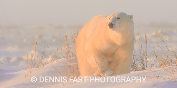 Polar Bear (Ursus maritimus) on Hudson Bay Coast, Manitoba, Canada