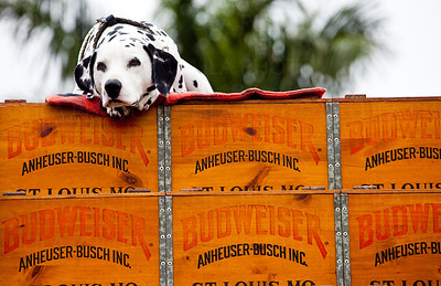 Barley the Budweiser dog
