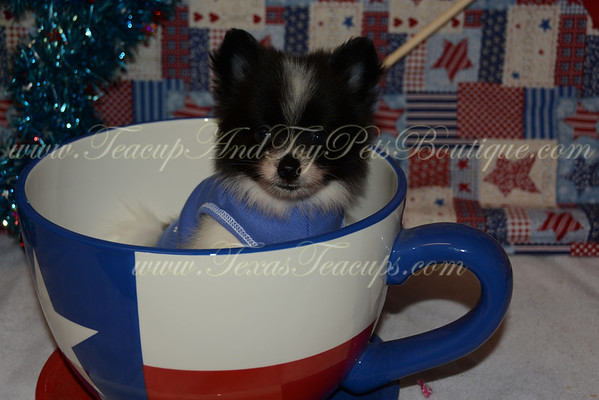 Male Pomeranian Puppy # 2829
