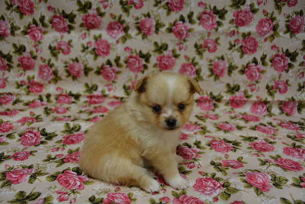 Female Pomeranian Puppy # 2855