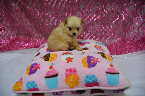 Female Pomeranian Puppy # 2856