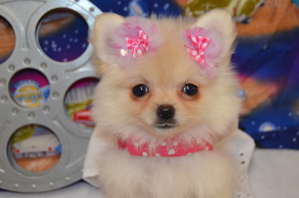 Female Pomeranian Puppy # 2898