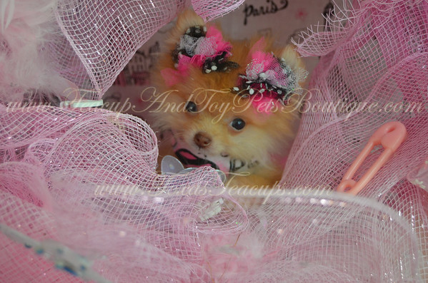 SOLD, Female Pomeranian Puppy # 2918
