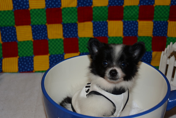 Male Pomeranian Puppy # 2828