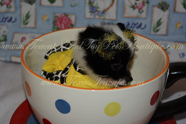 Female Pomeranian Puppy # 2830