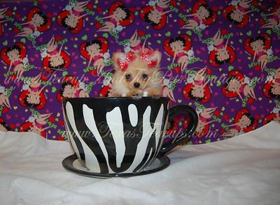 Female Cream Pomeranian For Sale # 2739