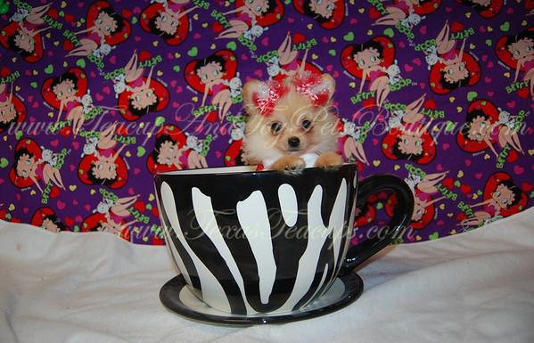 """Nala"" Female Pomeranian Puppy # 2739"