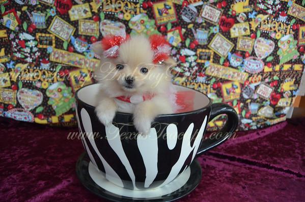 Female Pomeranian Puppy # 2940