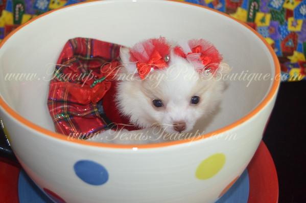 Female Pomeranian Puppy # 2954