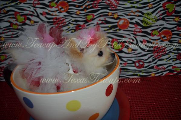 Female Pomeranian Puppy # 2974