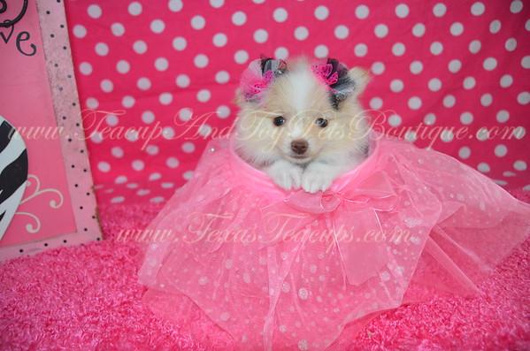 Female Pomeranian Puppy # 3107