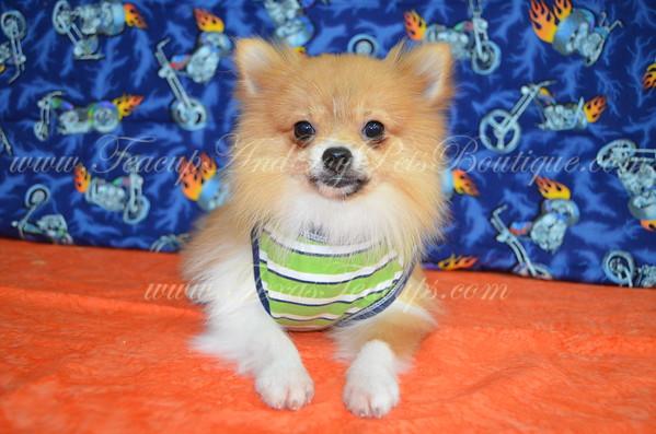 Male Pomeranian Puppy # 2972