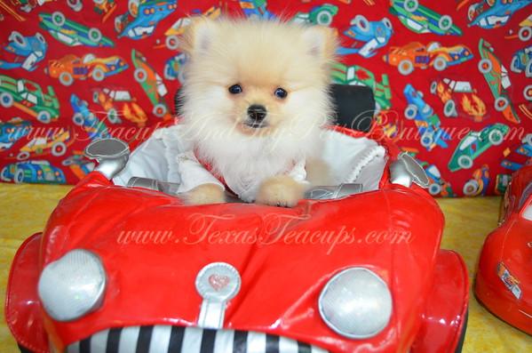 Male Pomeranian Puppy # 3031