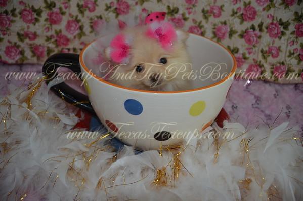 Pomeranian Puppy # 2973