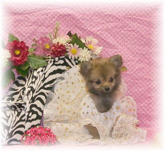 PUPPY NUMBER: # TT-POM-OCT-41-G-2 Sold to:  Tosha D Date Sold: November 2005 BREED: Pom SEX: Female SIZE: Tiny Teacup D.O.B: 08-09-2005  Final Price Paid: $ $3,975.00 Sales Representative: Shelley  Click the ( BUY THIS PHOTO ) icon under photo to purchase this puppy picture. Photos are available in wallets, 8 X 10, 5 x 7, on key chains, mouse pads, back packs, coffee mugs and T-Shirts and more.  This Photo is copy right protected by: Teacup And Toy Pets