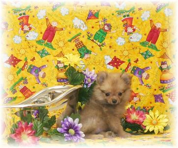PUPPY NUMBER  POM 8-30-2005 Sold to Biana T. of Upper Holland, PA   Date: August 2005  SIZE: Tiny Teacup SEX: Female BREED: Pomeranian  PRICE: $1,875.00 with registration.  $1,675.00 with no registration  Click the (  BUY THIS PHOTO ) icon under photo to purchase this puppy picture. Photos are available in wallets, 8 X 10, 5 x 7, on key chains, mouse pads, back packs, coffee mugs and T-Shirts and more. This Photo is copy right protected by: Teacup And Toy Pets