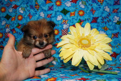 PUPPY NUMBER: # 677 Sold to: Cuba V. Date Sold: September 2007 From: Sulphur Springs, TX BREED: Pom SEX: Male SIZE: Teacup D.O.B: 7-23-07 COLOR: Black & Red Starting Price was: $4,975.00 Final Price Paid: $2,975.00 Sales Representative: Delaina  Click the ( BUY THIS PHOTO ) icon under photo to purchase this puppy picture. Photos are available in wallets, 8 X 10, 5 x 7, on key chains, mouse pads, back packs, coffee mugs and T-Shirts and more.  This Photo is copy right protected by: Teacup And Toy Pets